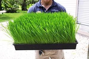 How to Grow the Best Wheatgrass From the HHI Garden